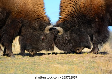 Two alpha male Bison Head-butting for dominance of the heard, horns locked together in battle on a grassy field with blue skies.