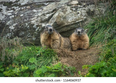 two alpine marmots looking out of their cave - Großglockner Austria