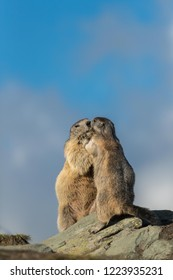 two alpine marmots standing, funny marmots, two marmots in Alps