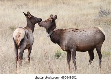 Two Amazing Elk