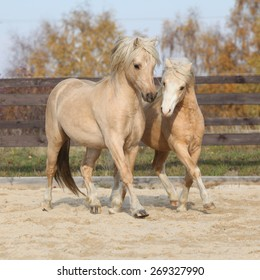 Two amazing palomino stallions playing together in autumn, welsh mountain pony and welsh pony of cob type