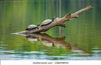 Two Amazon or Charapa river turtles (Podocnemis unifilis) on a branch inside Yasuni national park, Ecuador. This vulnerable species is found in Venezuela, Colombia, Peru, Brazil and Bolivia.