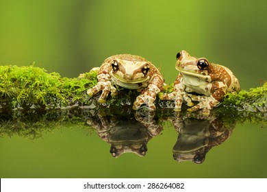 Two Amazon Milk frog reflections in pond