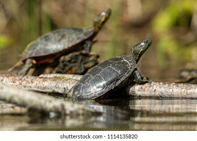 Two America Painted turtles (chrysemys picta) bask in the sun on a log on Fernan Lake in Idaho.