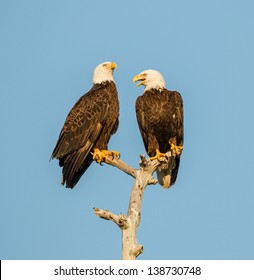 Two American Bald Eagles discussing the day