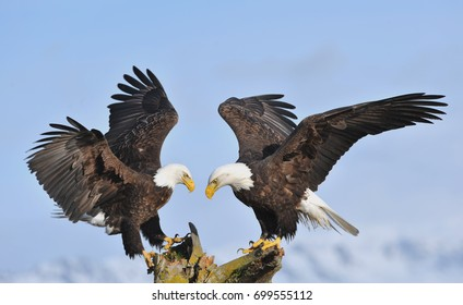two american bald eagles land on tree snag perch simultaneously with pale Alaskan blue sky and Kenai mountains in distant background