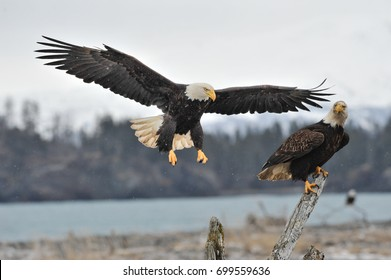 Two American bald eagles reaching tree stumps against background of Alaskan Kenai mountains and Cook Inlet waters