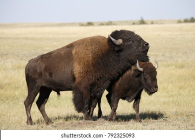 Two american bison in the black hills of South Dakota