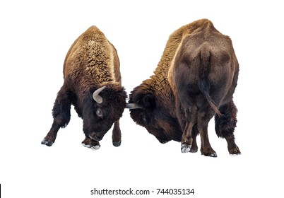 Two American bison butting in the snow isolated on white background.