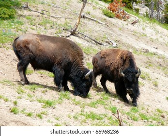 Two American Bison on Hillside in Yellowstone National Park