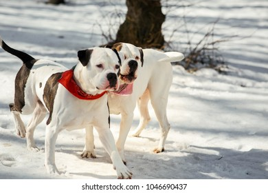 Two American bulldogs play with a stick in winter park