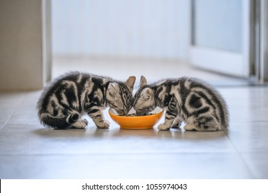 Two American cat kittens eating.