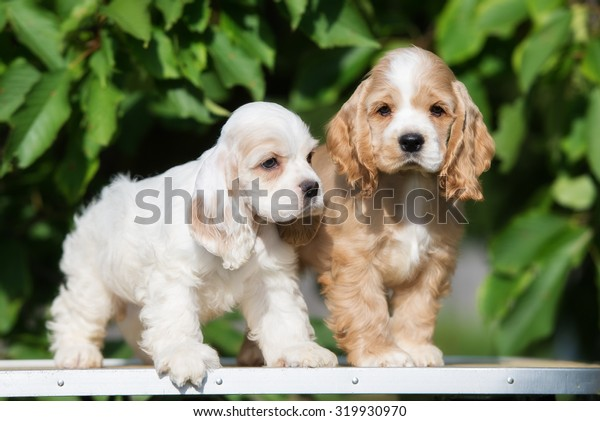 two american cocker spaniel puppies together
