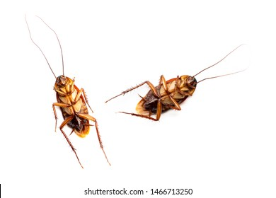two american cockroach with defecate on white background, Cockroaches are insects