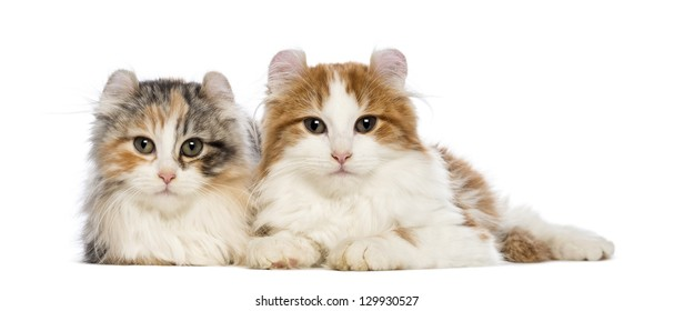 Two American Curl kittens, 3 months old, lying and looking at the camera in front of white background