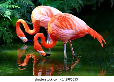 Two American flamingos in a pond.