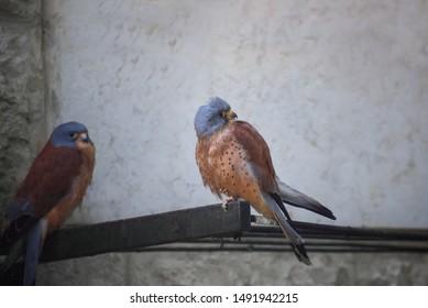 Two American kestrels, Falco sparverius, the smallest falcon. Portrait Close up