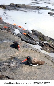 Two american oystercatcher resting on black lava rocks on an island in Galapagos, Ecuador