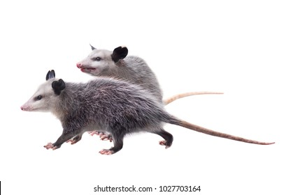 Two American possums.  Virginia opossum (Didelphis virginiana). Isolated on white background