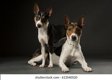 Two American Rat Terriers