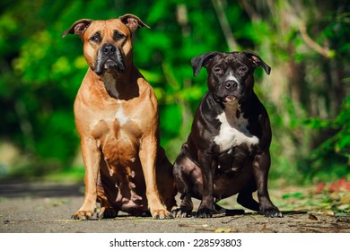 Two American Staffordshire Terrier. Close-up portrait.