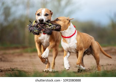 two american staffordshire terrier dogs running together playing with a rope toy