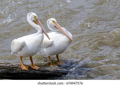 Two American White Pelicans (Pelecanus erythrorhynchos) on a Log in Water
