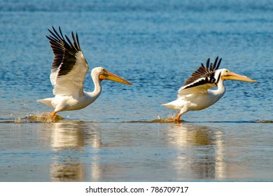 "Two American White Pelicans taking flight over lake at J. N. ""Ding"" Darling National Wildlife Refuge on Sanibel Island, Florida"