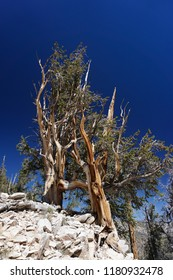 Two ancient Great Basin Bristlecone Pine trees, thousands of years old, cling to bare rock high in the White Mountains of California under a dramatic deep blue sky,