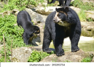 Two Andean bear (Tremarctos ornatus) standing near pond, also known as the spectacled bear