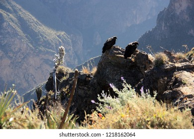 Two Andean condors sitting at the edge of the deepest canyon on the planet, the Colca Canyon in the Peruvian Andes, and waiting for some favorable upwinds and thermals