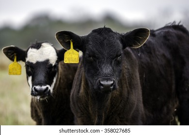 Two Angus crossbred calves with yellow ear tags looking at the camera