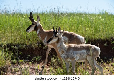 Two Antelope out for a walk in Custer State Park, South Dakota.