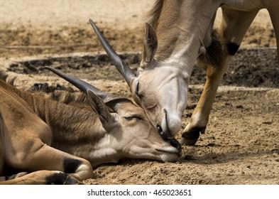 Two antelopes cuddling up