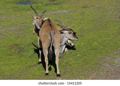 Two antelopes under the summer sun
