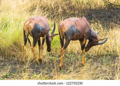 Two antelopes walks over the savanna