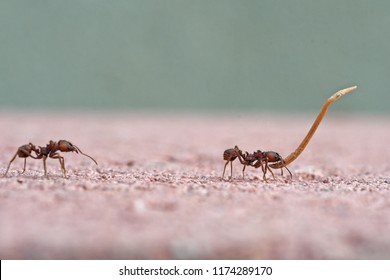Two ants carrying dry leaves