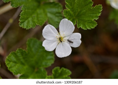 Two ants climbing along a white cloudberry flower, Western Siberia.