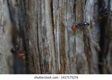 Two ants Crematogaster scutellaris on tree