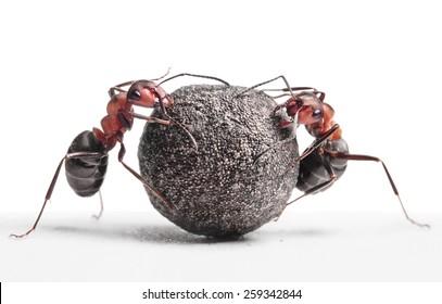 two ants rolling heavy stone