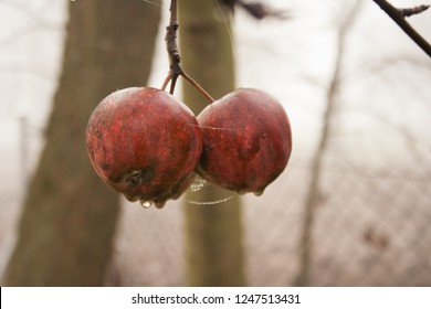 Two apples hanging on a tree in the autumn time. Broken apples that have not been broken and rotten.