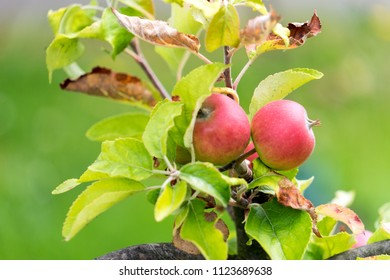 two apples on an apple tree
