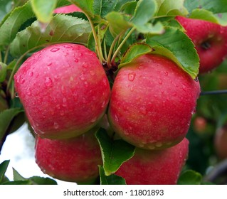 Two apples on the tree after a shower