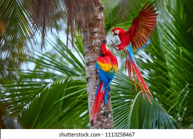 Dva Ara macao, Scarlet Macaw, pár velkých, červené barvy, amazonských papoušků poblíž hnízdící díry na palmě, natažené křídla, dlouhý červený ocas proti vlhkému lese. Národní park Manu, Peru, povodí Amazonky.
