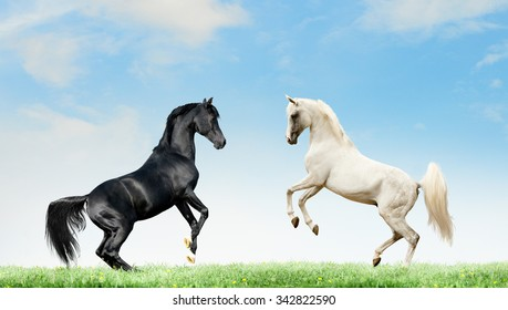 two arabian black and grey horses rearing on summer background
