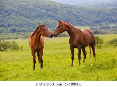 two Arabian horses on a green summer meadow