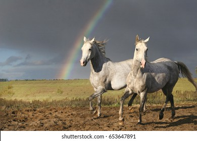 Two Arabian horses and a rainbow, Two Arabian horses playing in nature against a rainbow background