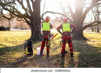 Two arborist men standing against two big trees.  The worker with helmet working at height on the trees. Lumberjack working with chainsaw during a nice sunny day. Tree and nature