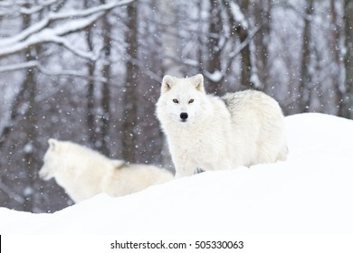 Two Arctic wolves standing in the falling winter snow in Canada