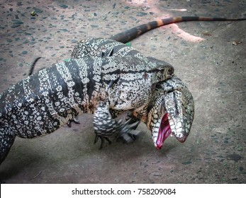 Two Argentine Black and White Giant Tegu (Tupinambis Merianae or Salvator Merianae) engage in a fight
